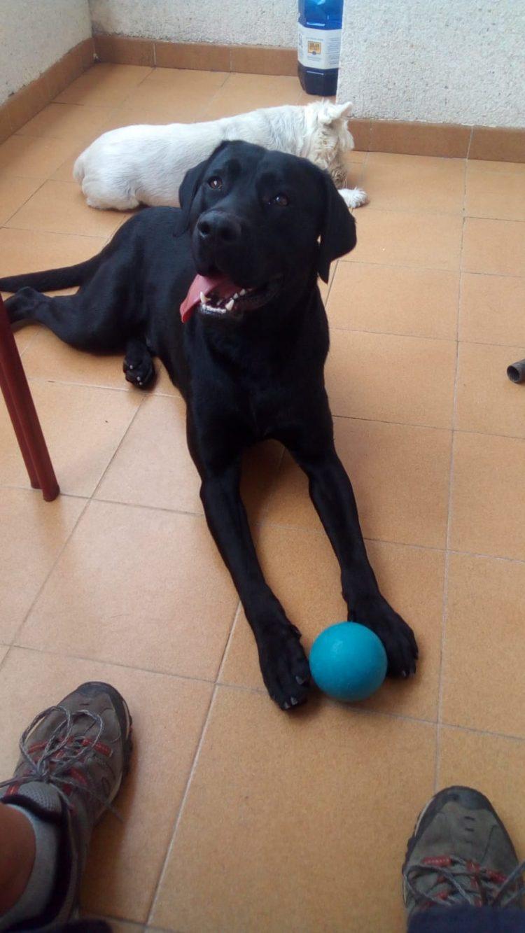 SOS Labrador perdido en Jerez SOS